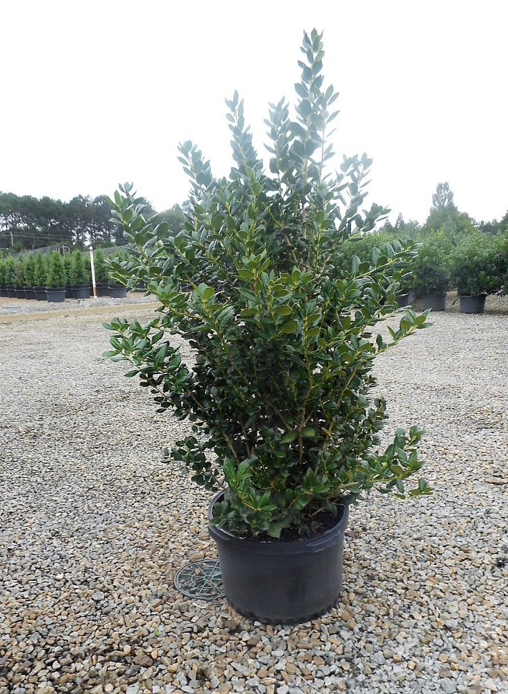 ilex-cornuta-burfordii-chinese-holly-horned-holly-burford-holly
